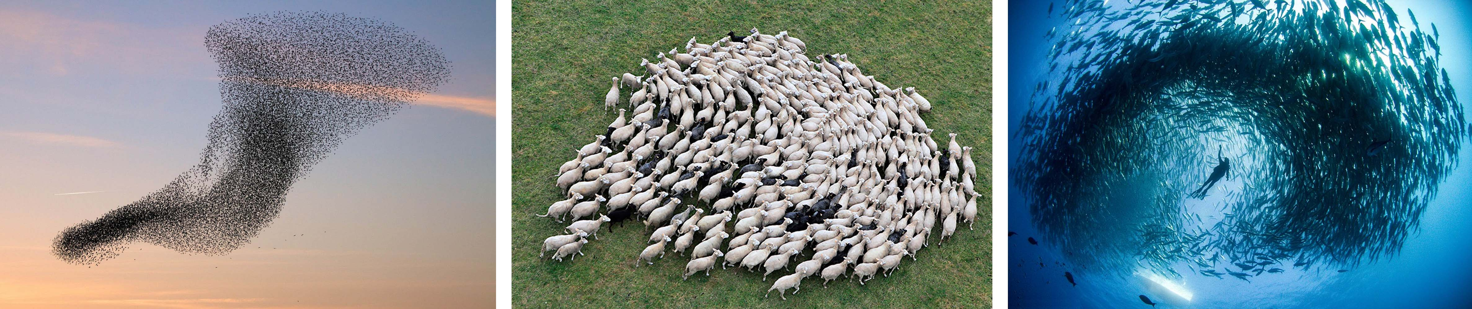Flocking observed in fish, sheep and birds. Image from www.google.com